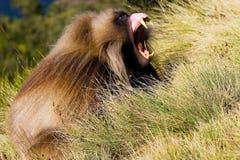 Αρσενικό baboon gelada Στοκ Φωτογραφίες