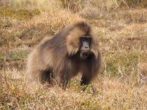 Αρσενικό baboon Gelada, gelada Theropithecus, στην Αιθιοπία Στοκ Φωτογραφία