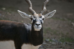 Αρσενικό blackbuck Στοκ εικόνες με δικαίωμα ελεύθερης χρήσης