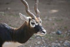 Αρσενικό Blackbuck Στοκ Φωτογραφίες