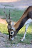 Αρσενικό blackbuck (cervicapra Antilope) Στοκ Φωτογραφία