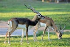 Αρσενικό blackbuck (cervicapra Antilope) Στοκ εικόνα με δικαίωμα ελεύθερης χρήσης