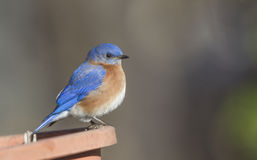 Αρσενικό Bluebird Στοκ φωτογραφία με δικαίωμα ελεύθερης χρήσης