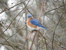 Αρσενικό Bluebird Στοκ Εικόνα