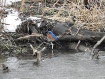 Αρσενικό Bluebird Στοκ Φωτογραφία