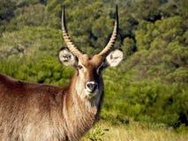 Αρσενικό Buck καλάμων βουνών στοκ φωτογραφία με δικαίωμα ελεύθερης χρήσης