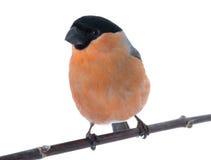 Αρσενικό bullfinch Στοκ Εικόνα