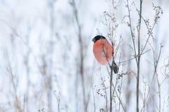 Αρσενικό bullfinch Στοκ εικόνες με δικαίωμα ελεύθερης χρήσης