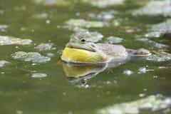 Αρσενικό Bullfrog Στοκ Φωτογραφία