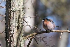 Αρσενικό Chaffinch σε έναν κλαδίσκο στοκ φωτογραφία