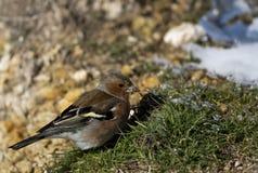 Αρσενικό Chaffinch Στοκ φωτογραφίες με δικαίωμα ελεύθερης χρήσης