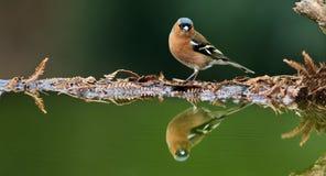 Αρσενικό Chaffinch Στοκ εικόνα με δικαίωμα ελεύθερης χρήσης