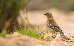 Αρσενικό Chaffinch Στοκ Εικόνες