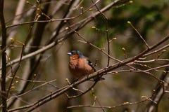 Αρσενικό Chaffinch Στοκ φωτογραφία με δικαίωμα ελεύθερης χρήσης