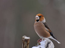 Αρσενικό Coccothraustes Hawfinch Στοκ Εικόνες