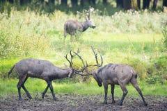 Αρσενικό elaphure πάλης Στοκ Εικόνες