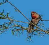 Αρσενικό Finch σπιτιών που κάνει τις ασκήσεις στοκ εικόνες