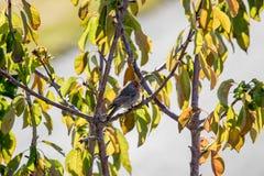 Αρσενικό finch σπιτιών που σκαρφαλώνει σε έναν κλάδο δέντρων Στοκ εικόνα με δικαίωμα ελεύθερης χρήσης