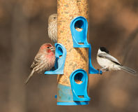 Αρσενικό Finch σπιτιών στον τροφοδότη, που τρώει τους σπόρους στοκ φωτογραφία με δικαίωμα ελεύθερης χρήσης