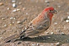 Αρσενικό Finch σπιτιών στοκ εικόνες με δικαίωμα ελεύθερης χρήσης