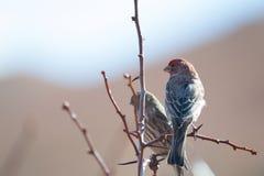 Αρσενικό Finch σπιτιών (mexicanus Carpodacus) στοκ εικόνες