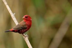 Αρσενικό finch Avadavat ή φραουλών στοκ φωτογραφία