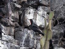 Αρσενικό Fregata magnificens, θαυμάσιο frigatebird σε μια φωλιά βράχου επάνω από τη θάλασσα, Santa Cruz, Galapagos, Ισημερινός Στοκ φωτογραφία με δικαίωμα ελεύθερης χρήσης