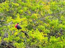 Αρσενικό Fregata magnificens, θαυμάσιο frigatebird στους κλάδους του μαγγροβίου, Santa Cruz, Galapagos, Ισημερινός Στοκ Φωτογραφίες