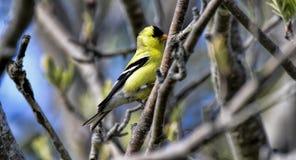 Αρσενικό goldfinch στο ST Johns στον Καναδά στοκ εικόνα