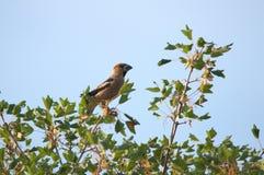 Αρσενικό Hawfinch Στοκ Φωτογραφίες