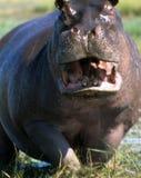 Αρσενικό hippopotamus που υπερασπίζει το έδαφός του στοκ εικόνα με δικαίωμα ελεύθερης χρήσης