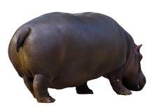 Αρσενικό hippopotamus Στοκ Φωτογραφίες