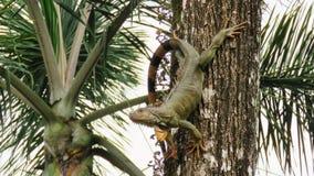 Αρσενικό Iguana σε το ρολόι εδαφών ` s Στοκ Εικόνα
