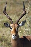 αρσενικό impala της Μποτσουάν&alph Στοκ Εικόνες