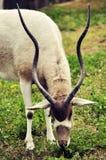 αρσενικό impala στοκ φωτογραφίες με δικαίωμα ελεύθερης χρήσης