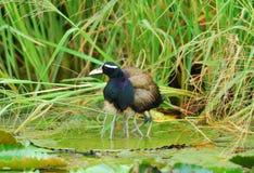 αρσενικό jacana χαλκού φτερωτό στοκ εικόνες