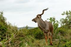 Αρσενικό Kudu που κοιτάζει και έτοιμο να τρέξει σε μια κατεύθυνση Στοκ εικόνες με δικαίωμα ελεύθερης χρήσης