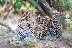 Αρσενικό leopard Στοκ εικόνες με δικαίωμα ελεύθερης χρήσης