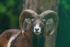 αρσενικό moufflon στοκ φωτογραφία με δικαίωμα ελεύθερης χρήσης