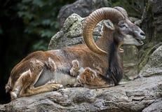 αρσενικό moufflon Στοκ Εικόνες