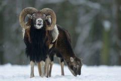 Αρσενικό Mouflon το χειμώνα Στοκ φωτογραφία με δικαίωμα ελεύθερης χρήσης