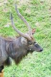 Αρσενικό Nyala (angasii Nyala ή angasii Tragelaphus) Στοκ φωτογραφία με δικαίωμα ελεύθερης χρήσης