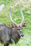 Αρσενικό Nyala (angasii Nyala ή angasii Tragelaphus) Στοκ Φωτογραφία