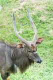 Αρσενικό Nyala (angasii Nyala ή angasii Tragelaphus) Στοκ Φωτογραφίες