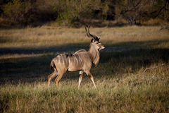 αρσενικό okavango kudu της Μποτσουά&n Στοκ φωτογραφία με δικαίωμα ελεύθερης χρήσης