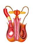 αρσενικό orgons Στοκ Φωτογραφίες