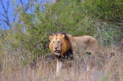 αρσενικό panthera λιονταριών leo Στοκ φωτογραφία με δικαίωμα ελεύθερης χρήσης