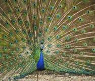 Αρσενικό peacock με την ουρά ανοικτή Στοκ Εικόνες