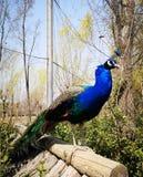Αρσενικό peacock με το όμορφο φτέρωμα στοκ εικόνα με δικαίωμα ελεύθερης χρήσης