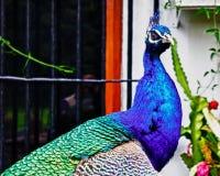 Αρσενικό peacock που θέτει το μέτωπο των Η.Ε των παραθύρων στοκ φωτογραφίες με δικαίωμα ελεύθερης χρήσης